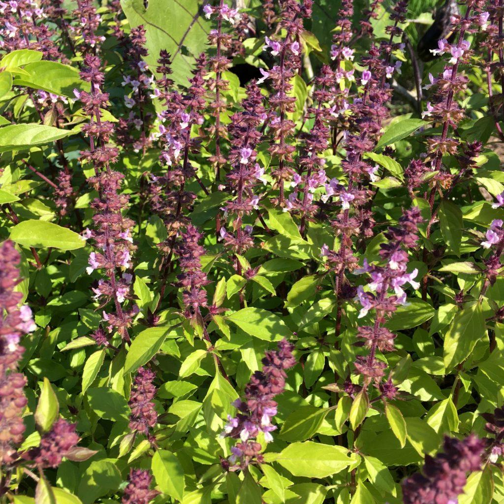 ホーリーバジル開花紫花