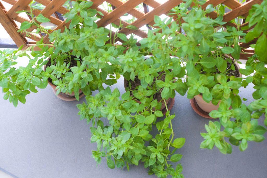 ホーリーバジル家庭菜園ベランダ